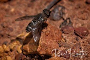 Bee Fly Villa sp.