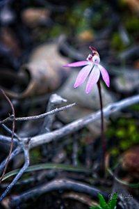 Dusky Fingers Orchid