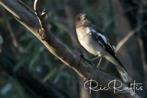 Pied Butcher Bird