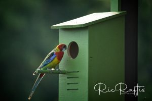 Eastern Rosella At Box