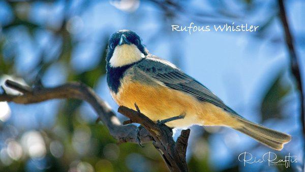 Rufous Whistler