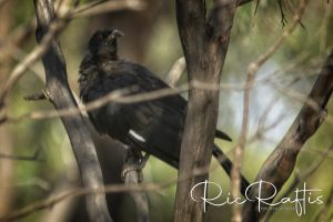 White Winged Chough