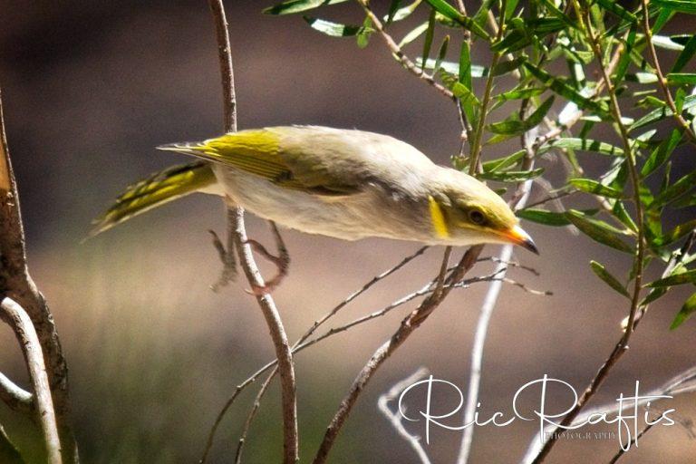 Yellow Plumed Honeyeater